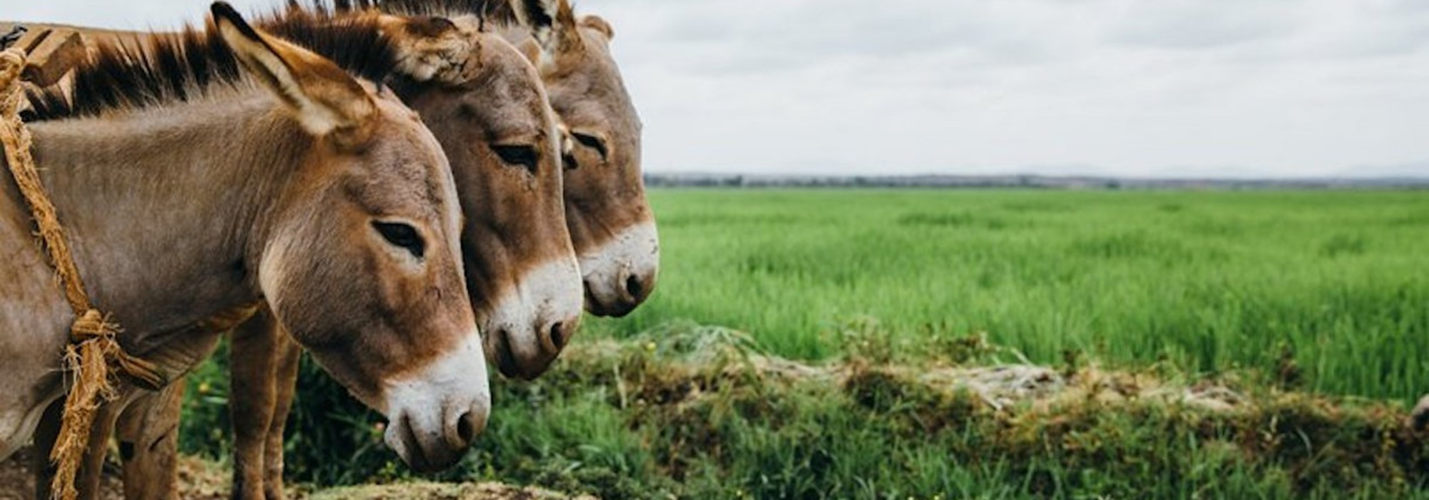 Two donkeys close up