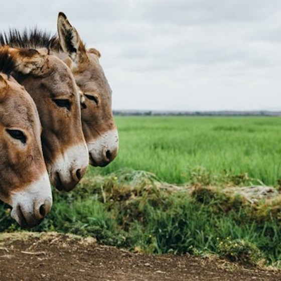 Donkeys by a field