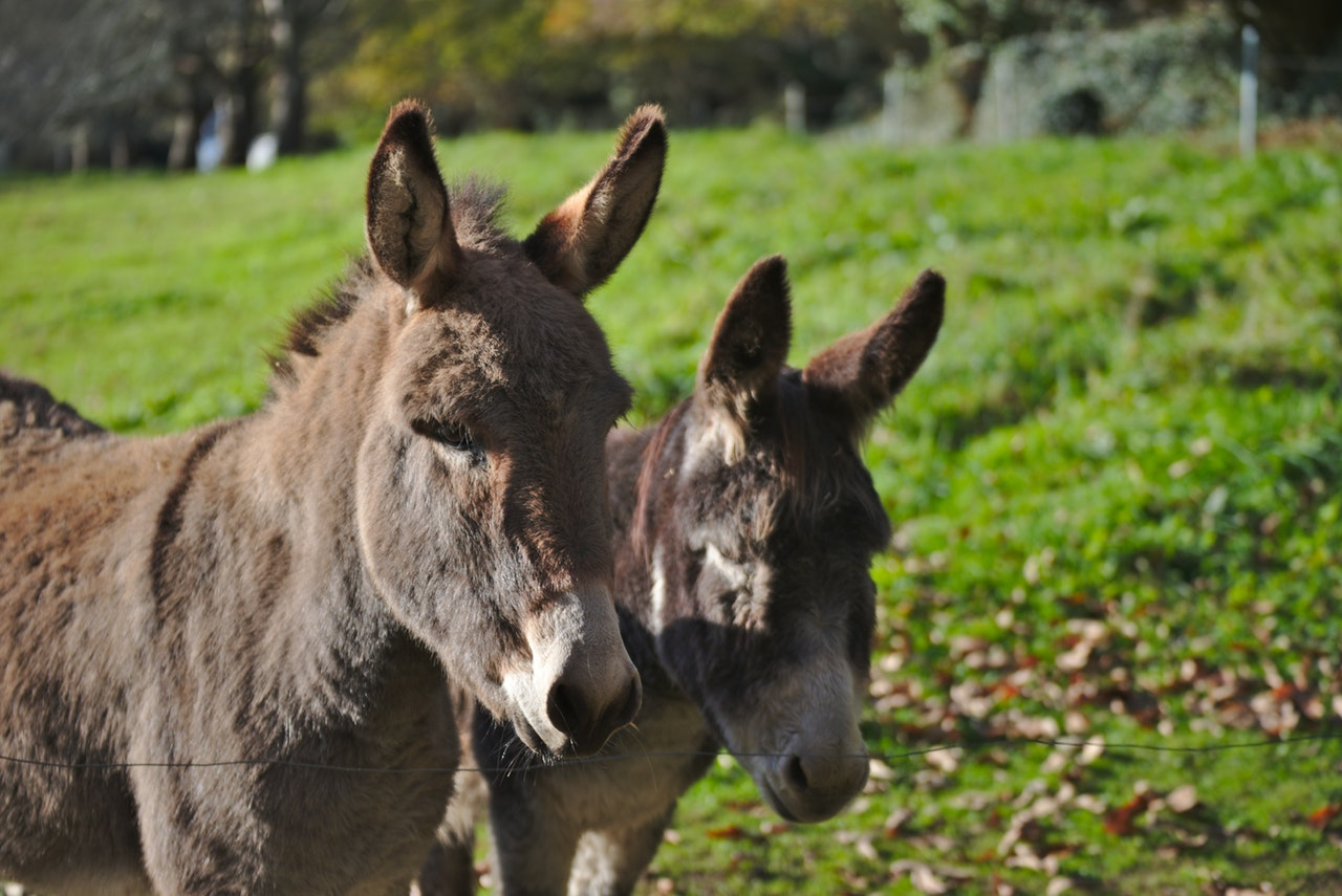 Donkeys in a field